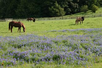 Horses near Pt Reyes in Bear Valley