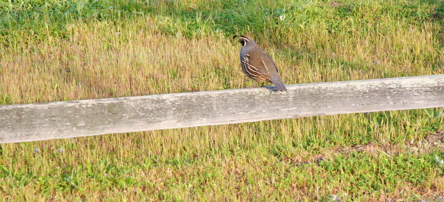 quail on fence at roundstone farm bed and breakfast