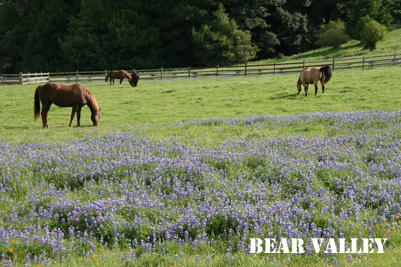 bear valley with horses and lupin